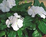Photo Common Periwinkle, Creeping Myrtle, Flower-of-Death (Vinca minor), white