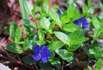 Photo Common Periwinkle, Creeping Myrtle, Flower-of-Death characteristics