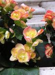 Photo Garden Flowers Wax Begonias (Begonia semperflorens cultorum), yellow