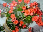Photo Garden Flowers Wax Begonias (Begonia semperflorens cultorum), orange