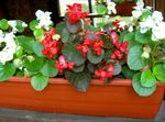 Photo Garden Flowers Wax Begonias (Begonia semperflorens cultorum), red