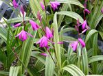 Photo Ground Orchid, The Striped Bletilla characteristics