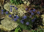 Photo Sheep's bit Scabious, Creeping Winter Savory characteristics