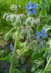 Photo Borage characteristics