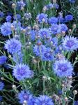 Photo Knapweed, Star Thistle, Cornflower characteristics