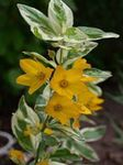 Foto Yellow Loosestrife Merkmale