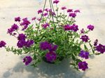 Photo Garden Flowers Verbena , purple