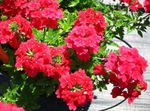 Photo Garden Flowers Verbena , red