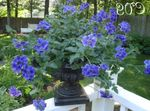 Photo Garden Flowers Verbena , blue