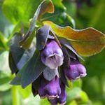 Honeywort, Blue Shrimp Plant, Blue Wax Flower