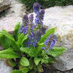Photo Garden Flowers Wulfenia , blue