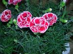 Photo Dianthus, China Pinks characteristics