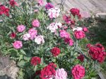 Photo Sweet William characteristics