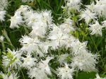 Photo Dianthus perrenial characteristics