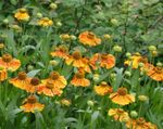 Photo Sneezeweed, Helen's Flower, Dogtooth Daisy characteristics