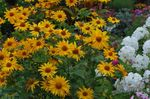 False Sunflower, Ox-eye, Sunflower Heliopsis