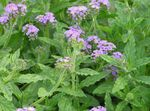 Photo Garden Flowers Heliotrope, Cherry pie plant (Heliotropium), lilac