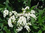 Photo Garden Flowers Heliotrope, Cherry pie plant (Heliotropium), white