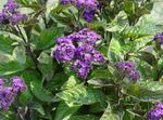 Photo Garden Flowers Heliotrope, Cherry pie plant (Heliotropium), purple