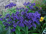 Photo Garden Flowers Heliotrope, Cherry pie plant (Heliotropium), blue