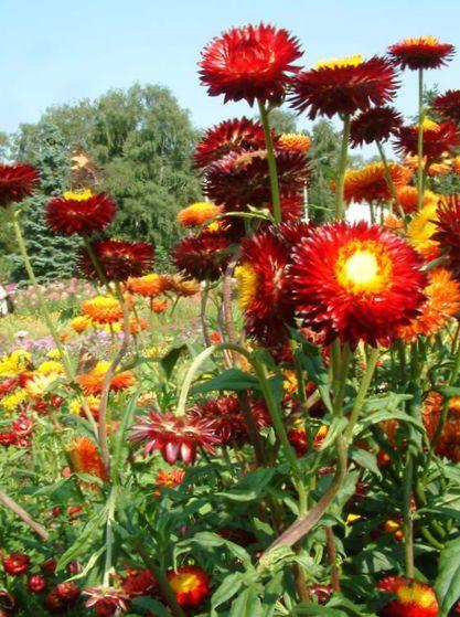 Flores De Jardin Siemprevivas Margarita De Papel Helichrysum
