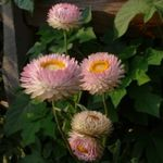 Photo Strawflowers, Paper Daisy characteristics