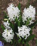 Photo Dutch Hyacinth characteristics