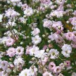 Photo Gypsophila characteristics