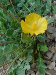Photo Garden Flowers Sea Poppy, Horned Poppy (Glaucium), yellow