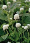 Photo Globe Amaranth characteristics