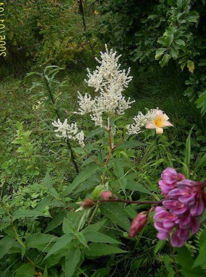 Giant fleeceflower white fleece flower white dragon polygonum photo giant fleeceflower white fleece flower white dragon polygonum alpinum persicaria polymorpha mightylinksfo