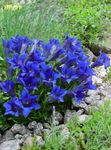 Photo Gentian, Willow gentian characteristics