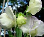 Photo Sweet Pea characteristics