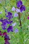 Foto Have Blomster Sweet Pea (Lathyrus odoratus), lilla