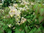 Photo Longspur Epimedium, Barrenwort characteristics