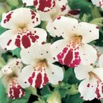 Photo Monkey Flower characteristics