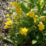 Photo Garden Flowers Monkey Moss (Mimulus primuloides), yellow