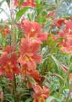 Photo Sticky Monkeyflower (Mimulus aurantiacus), red