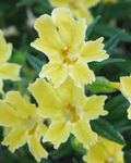 Photo Sticky Monkeyflower (Mimulus aurantiacus), yellow