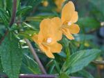 Photo Sticky Monkeyflower (Mimulus aurantiacus), orange