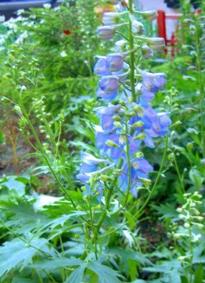 Batlle Semillas de Flores Espuela Delphinium doble variada