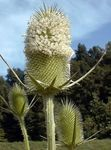 Photo Teasel characteristics