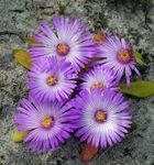 Photo Livingstone Daisy characteristics
