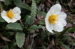 Photo Garden Flowers Avens (Dryas), white