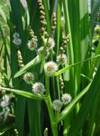Photo Exotic Bur Reed characteristics