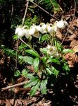 Photo Pipsissewa, Prince's Pine, Ground Holly characteristics
