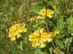 Photo Garden Flowers Phlomis , yellow
