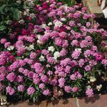 Photo Candytuft characteristics