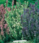 Photo Hyssop characteristics
