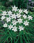 Photo Spring Starflower characteristics